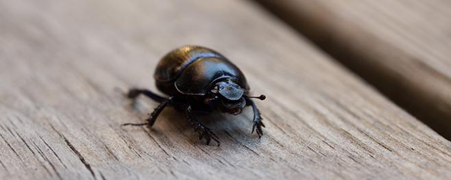 Holz-Schädlinge-Käfer