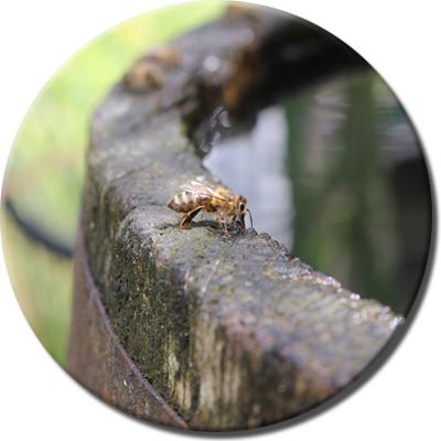Ambientebild von Bienen am hölzernen Wasserfass