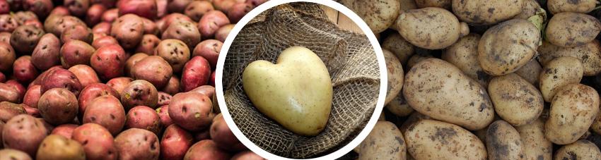 Bildfolge verschiedener Kartoffwelsorten