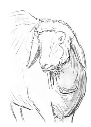 Skizze eines Schafs