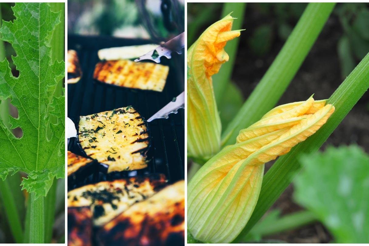 Zucchinipflanze und gegrillte Zucchini