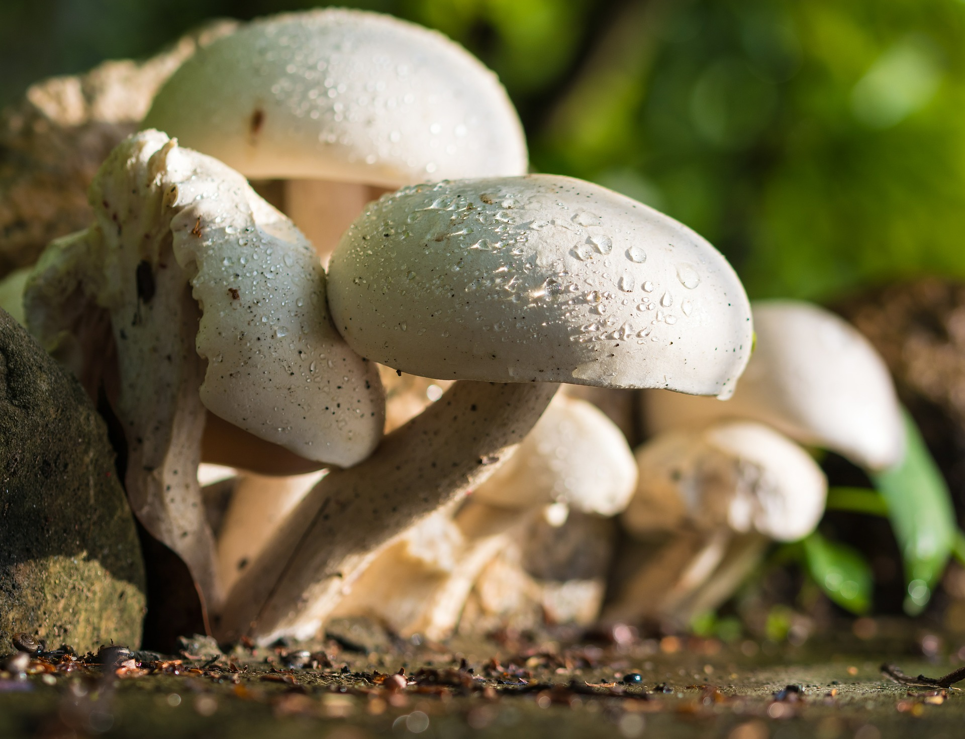 champignongs-im-wald