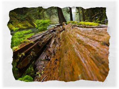 verrottender Baum im Wald